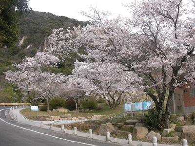 鳴滝の桜2011年4月- 山口県,山口市,ブライダルフェア,結婚式場,ウェディング