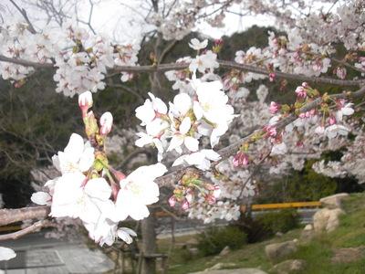 鳴滝の桜 - 山口県,山口市,ブライダルフェア,結婚式場,ウェディング